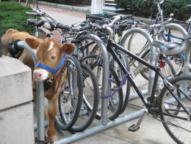 cow-and-bicycle-rack